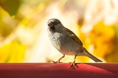 (Jérôme_M) Tags: canon eos 600d sigma 150600 moineau bird oiseau bokeh aquitaine landes seignanx balcon saintmartindeseignax natimages natgeo lemondedelaphoto