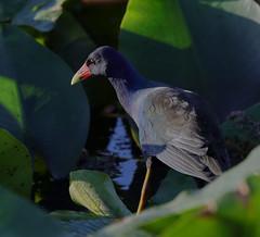 11-12-18-0041979 (Lake Worth) Tags: animal animals bird birds birdwatcher everglades southflorida feathers florida nature outdoor outdoors waterbirds wetlands wildlife wings