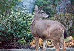 FY4 (beelzebub2011) Tags: canada britishcolumbia northvancouver street deer wildlife