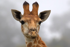 Giraf (soetendaal) Tags: kameelperd afrika καμηλοπάρδαλη girafe giraffe animal jirafa giraffa wildlife safari kragga kamma game park port elizabeth southafrika