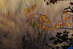 IMG_4762 (PrashantVerma) Tags: california eastern sierra lake autumn fall water leaf leaves reflection canon 6d prashantvermaphotography