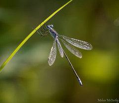 Damselfly (Melissa M McCarthy) Tags: damselfly blue insect bug fly nature outdoor wildlife closeup perched pretty winnipeg manitoba canada canon7dmarkii canon100400isii telephoto macro