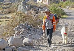 18 2254 - Pérou, Yanque (Jean-Pierre Ossorio) Tags: pérou yanque berger animal alpaga