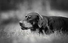 Daydreaming in the grass (Riley-Dobe) Tags: