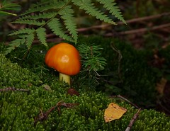 On the Forest Floor (jmunt) Tags: mushroom fungi nature moss microlandscape
