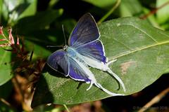 IMG_9540 Hypolycaena hatita (maybe) ♂ (Raiwen) Tags: africa guinea westafrica moyenneguinée butterfly lycaenidae theclinae hypolycaena hypolycaenahatita foutadjalon