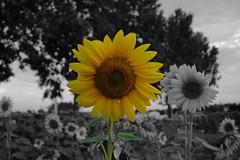 Turnsole (Péter Vida) Tags: turnsole black white napraforgó temper natural természet sunflower bright macro