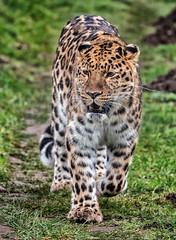 YWP: Amur Leopard (Adrian.W) Tags: flickrbigcats bigcat mammal animal fur feline predator ywp yorkshirewildlifepark doncaster yorkshire panasonic lumix lumixgx9 gx9 100300mm micro43 mirrorlesscamera leopard amurleopard endangeredspecies
