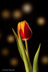 Tulip (Neil Adams Photography (Wirral)) Tags: plant flower