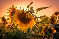 Sun Flowers,...... (Willem Vernooy (FoToWillem)) Tags: sun sunset sunshine sunflower flower yellow natuur nature altena almkerk netherlands nederland holland hollanda holandes hollande fotowillem willemvernooy ftw
