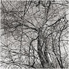 im korkus 275 (beauty of all things) Tags: eschweiler wald forest imkorkus trees treesinthesky bäume quadratisch bw sw gestrypp gestrüpp scrub tangle wirrwarr entropy