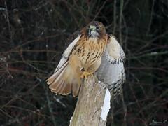 Sadie Red-tailed Hawk CRC IMG_2983 (Jennz World) Tags: ©jennifermlivick canadianraptorconservancy vittoria ontario canada redtailedhawk hawk bird raptor winter snow