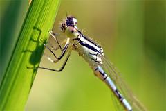 9590_damselfly (Realmantis) Tags: damselfly macro invertebrate dragonfly