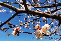 SPRING TIME. (FRANCO600D) Tags: macro rami primavera spring springtime stagione fioritura natura fiori flowers ape insetto huawei mate20pro franco600d