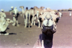 76-294 (ndpa / s. lundeen, archivist) Tags: nick dewolf color photograph by 1976 1970s film 35mm 76 reel76 early1976 africa northernafrica northeastafrica sudan thesudan african sudanese khartoum omdurman citylife candid streetphotography animal animals camel camels market camelmarket livestock people men head portrait nose eyelashes khartoumstate photographbynickdewolf