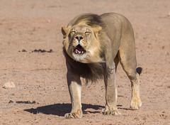 Roaring King (jaffles) Tags: southafrica südafrika kgalagaditransfrontier ktp olympus safari wildlife natur nature beautiful predator raubkatze