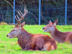 Caged Stag Yapping 13-01-2019 (gallftree008) Tags: caged stag doe having chat resting wildlife preserve newbridge house donabate co dublin ireland 13012019 deer codublin county classic dub eire eireann fingal greenery green irish irishwildlife nature naturesbeauties naturescreations park amazingnature