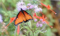 Queen Butterfly (Danaus glippus); Tucson, Arizona, Tohono Chul Park [Lou Feltz] (deserttoad) Tags: nature arizona insect butterfly monarch queen flower wildflower bloom behavior