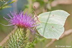 2012.08.08 - 4181 - Citron Kermesquel © (chmeyer51) Tags: insecte papillon citron lépidoptère pieridae coliadinae gonepteryxrhamni