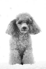 Tina-LR-DSC_2766-2 (studiofuntas) Tags: プードル トイプードル ティーカッププードル poodle toypoodle teacuppoodle モノクローム monochrome 犬 dog pet ペット ロケーション撮影 リクエスト撮影 locationphoto locationshooting