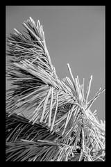 B/N (Cal Centelles) Tags: gebrada frozen bn bosc woods pine tree winter cold