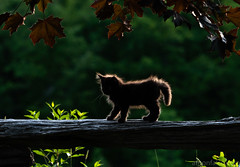 Kitten At Sunset (antonfalco2) Tags: cat new outside kitten animal nature camera golden leaves awesome lovely autumn ontario trees canada landscape fall green orange landscapes weather hamilton photograph sunset wood forest hiking sunlight art park pet goldenhour pets cats