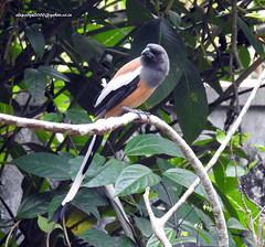 DSCN5377 Rufous Treepie (Dendrocitta vagabunda) (vlupadya) Tags: greatnature animal aves fauna indianbirds rufous treepie dendrocitta kundapura karnataka