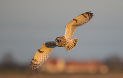 Short-Eared Owl-5301-2 (seandarcy2) Tags: owls shorteared raptors birdsofprey handheld fenland bif birds wildlife