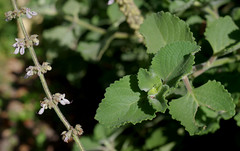 Plectanthus amboinicus, Queens Gardens, Townsville, QLD, 10/09/18 (Russell Cumming) Tags: plant plectanthus plectranthusamboinicus lamiaceae queensgardens townsville queensland