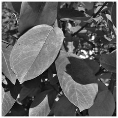Crepe Myrtle leaves in mono (karma (Karen)) Tags: baltimore maryland home frontyard trees crepemyrtles dof bokeh bw mono hmbt squared