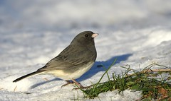Dark-Eyed Junco (hd.niel) Tags: darkeyedjunco snowbirds sparrow birds nature photography autumnwinter snow wildlife ontario slatecoloured