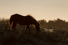 Wild (Feral) Horse in the Dunes (drbradkent) Tags: horse wild feral beach sand dune dunes island assateague backlit