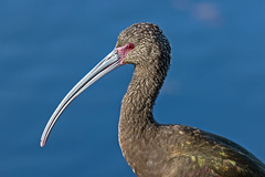 White-faced Ibis (noblesgeorge1) Tags: