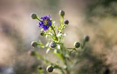 Anesthetics (Vanessa wuz Here) Tags: lighting macro 90mm stalbertbotanicalgarden autumn macroflowers wilted purple green flora flowers