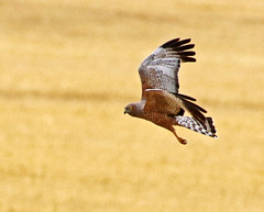 a2U7A3892_sml (ozenigma61) Tags: spottedharrier harrier raptor birdofprey birdinflight