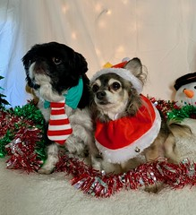 Sonya Polk-Olson (SRF) (PlacerCountyCA) Tags: placercounty holidayseason christmas