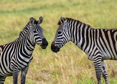 PLAIN'S ZEBRA: BOOK ENDS (John C. Bruckman @ Innereye Photography) Tags: plainszebra kenya maasaimara botswana stripes heatcontrol camouflage pattern barcodes foals migration bluewildebeest antelope serengeti tanzania