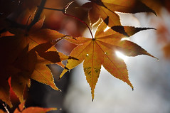from darkness to light (christiaan_25) Tags: japanesemaple momiji irohamomiji acerpalmatum leaves leaf tree woods forest backlit bokeh autumn fall sunlight sunshine light shadow bright dark alive transition change season mortonarboretum plant foliage outdoor depthoffield orange red