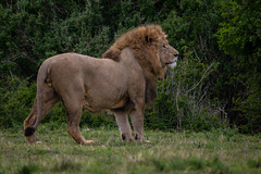 The Lion King (tormod_l) Tags: 2018 lion outdoor southafrica animal september nature