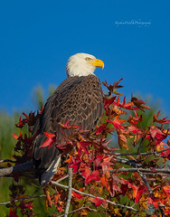 Bald Eagle (stephenwalshphoto) Tags: