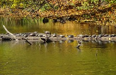 DSC04952b (Naturecamhd) Tags: dschx90v hx90v newyorkbotanicalgarden nybg botanicalgarden nature bronx green eco sonyhx90v thebronx sonydschx90v fall fallfoliage autumn twinlakes wildlife redearedsliders paintedturtles