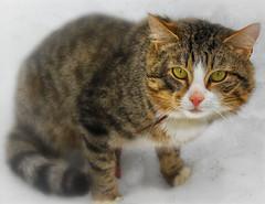 Cat / Зимняя прогулка (VikTori_kvl23) Tags: cat domestic pet sleep fur furry downy kitten carnivore sleepy adorable animal eye eyes head