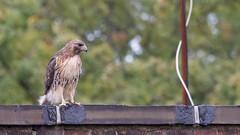 Fred • Redtail Hawk (Male) (mausgabe) Tags: olympus em1 olympusm40150mmf28 olympusmc14 nyc centralpark thepinetum hawk redtailhawk male fred