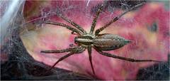 Funnel Weaver lens test (Small Creatures) Tags: anamorphic cinemascope d60 funnelweaver iscorama iscoramacloseup iscoramamacro isco nikkorh85mm nikon macro terrarium spider