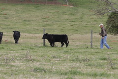 Ray Coleman walks around his farm, checking on his cows.