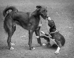 Bruno with clumsy pup 5 (Ron Perrillo) Tags: dogs dogrescue anticrueltychicago pitbull puppy play fun smiles understanding dogsbestfriend mansbestfriend hornerpark chicago blackandwhite monochrome nikond750 nikon85mmf18g