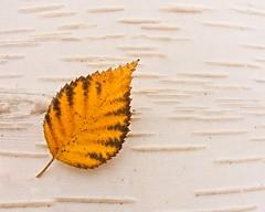 Autumn Birch Leaf Bark (jim.choate59) Tags: jchoate on1pics tree leaf bark birchtree yellow macro autumn fallseason