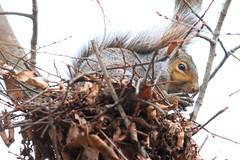 gray squirrel eating black walnut on drey along West Canoe Creek IA 653A1289 (naturalist@winneshiekwild.com) Tags: gray squirrel eating black walnut drey west canoe creek winneshiek county iowa larry reis