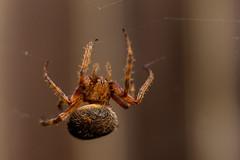Spotted Orbweaver (NickRoseSN) Tags: spider spiders arachnid orbweaverspotted gardennative yardnative plantsnativewildlifenatureplantsplantgardenback yard gardenphotographysan mateosan mateo countysan franciscosfsf bay areasan francisco areabay area california ca