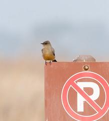 No Parking, Say's Phoebe (wynner3) Tags: nikon d7000 nikkor200500mmf56 fremont coyotehillsregionalpark saysphoebe birds noparking
